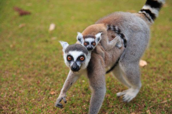 おすすめスポット!ナハンプアナ保護区は野生のキツネザルとの触れ合いがすごい!@マダガスカル【海外観光情報】